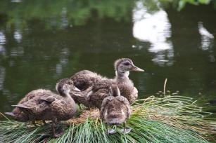 Ducklings in Volunteer Park